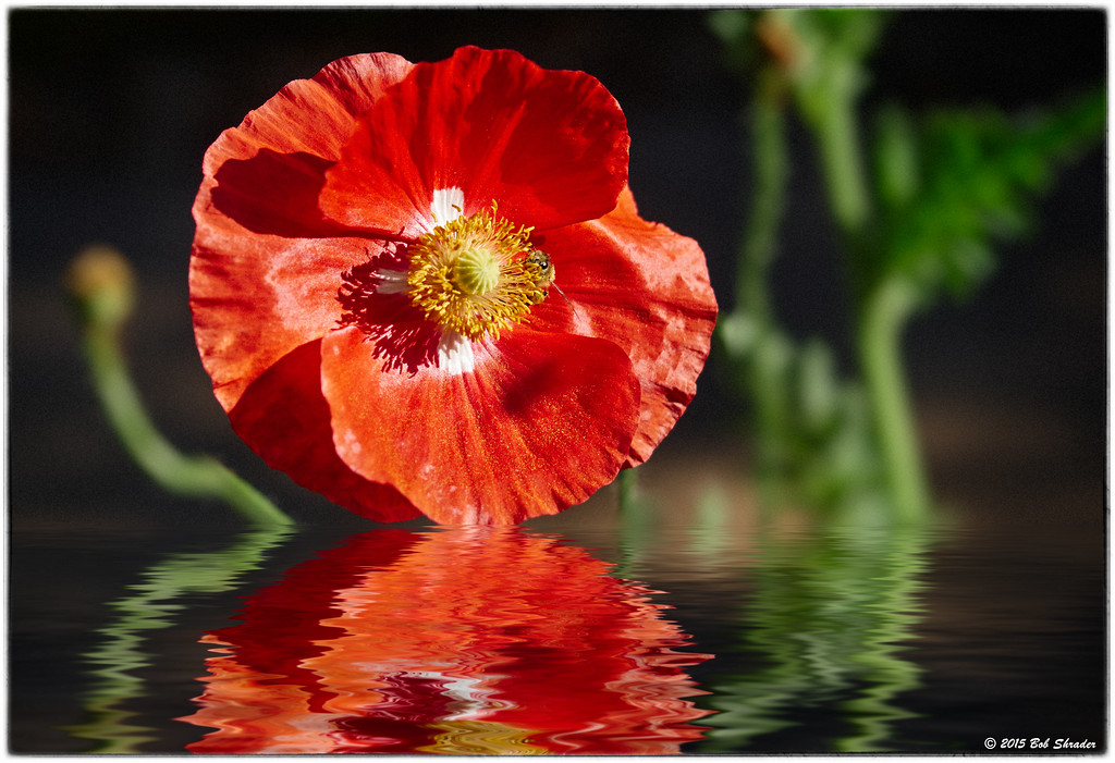 Poppy Reflection