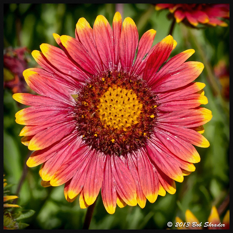 Indian Blanket Beauty