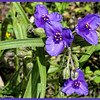 Giant Spiderwort
