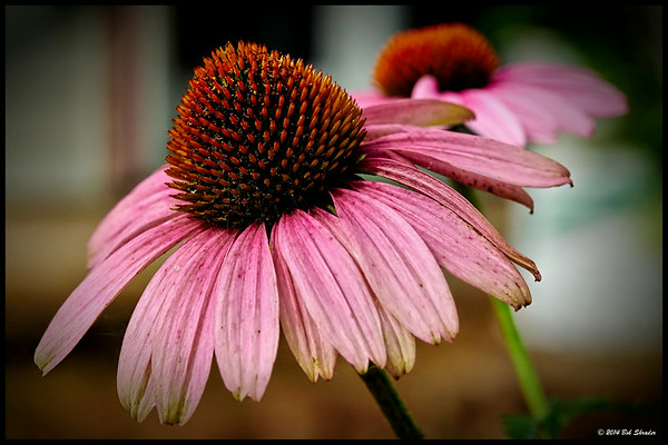 Two Coneflowers