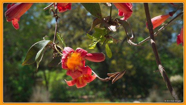 Trumpet Creeper in the Morning