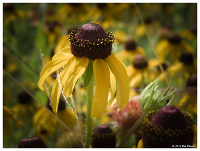 Highlighted Coneflower