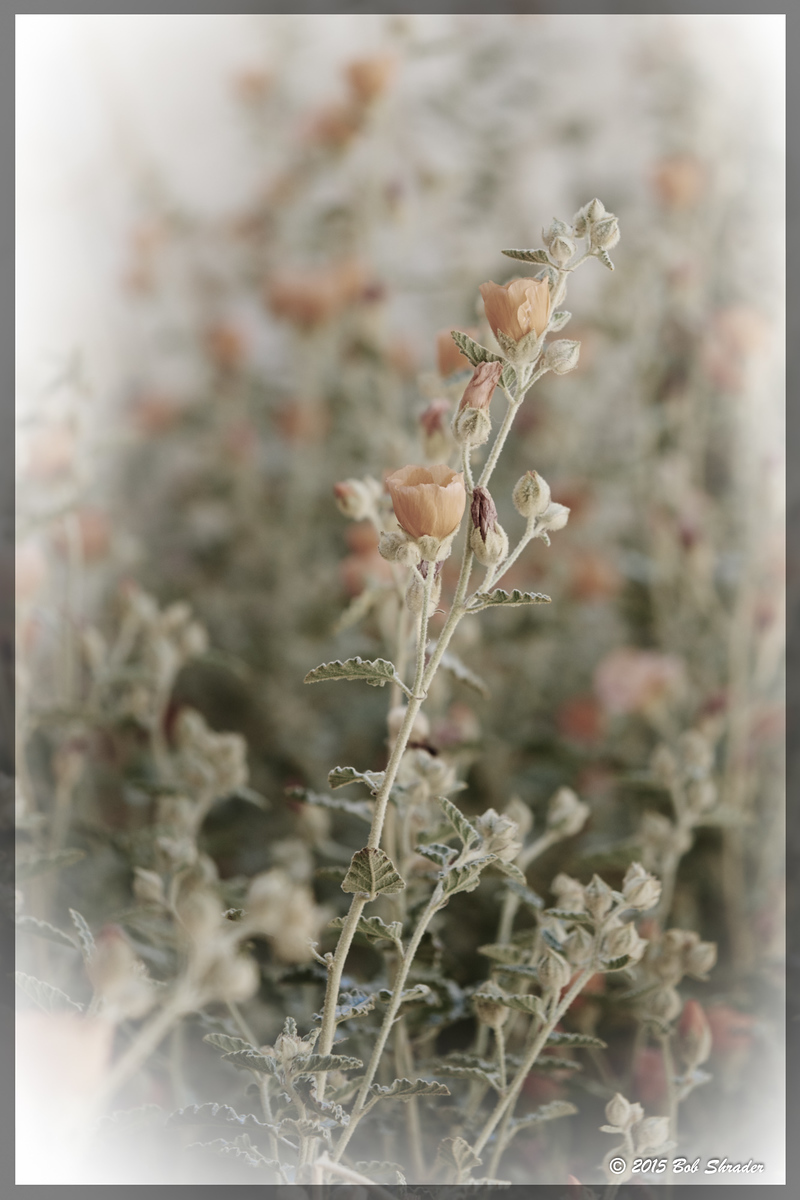 Gray Globemallow in Pastel
