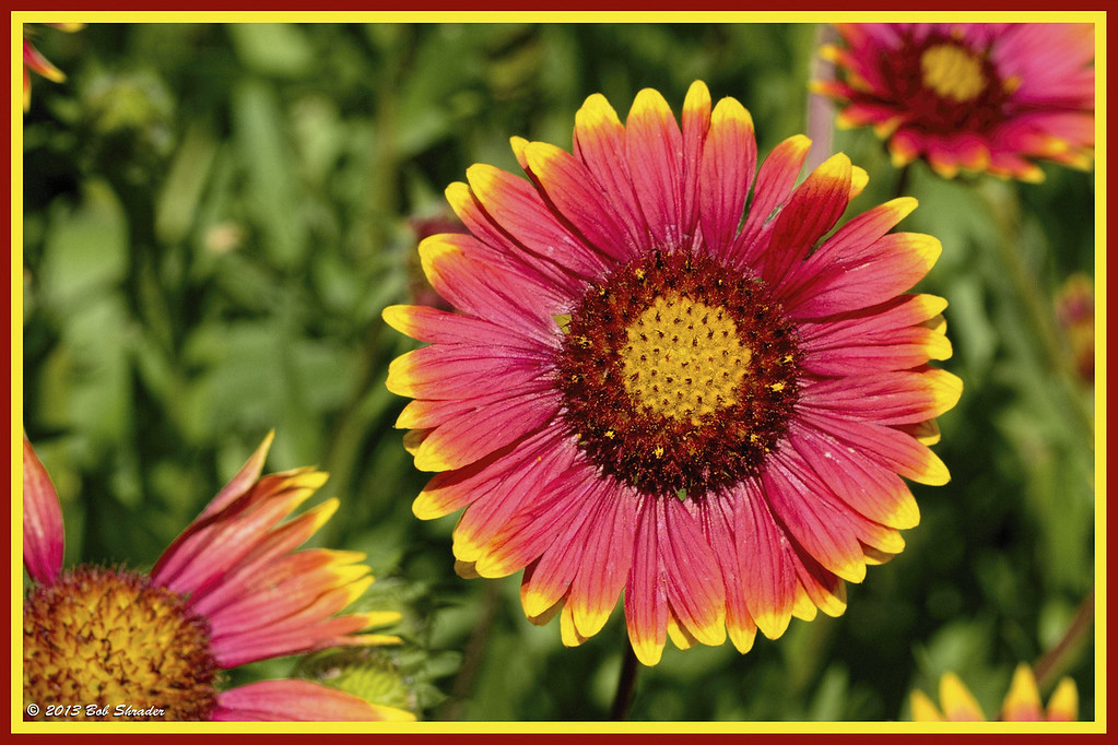 Callahan County Indian Blanket