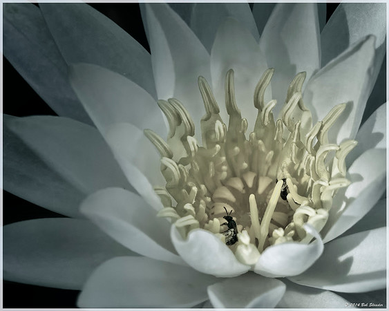 Water Lily Comparison - 3 of 3