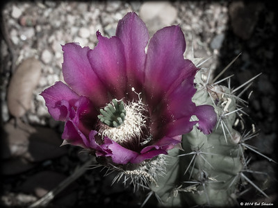 Strawberry Cactus Blossom