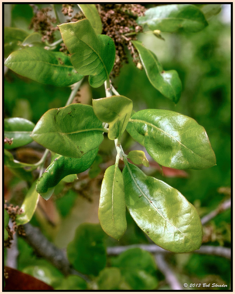 Live Oak Leaves
