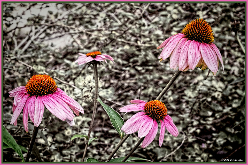 Cone Flowers in Yard
